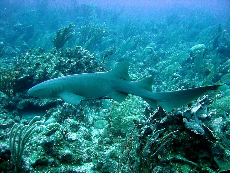 """The nurse shark's scientific name means """"the shark with the flexible curly mouth."""" Click here to find out more about these amazing animals!"""