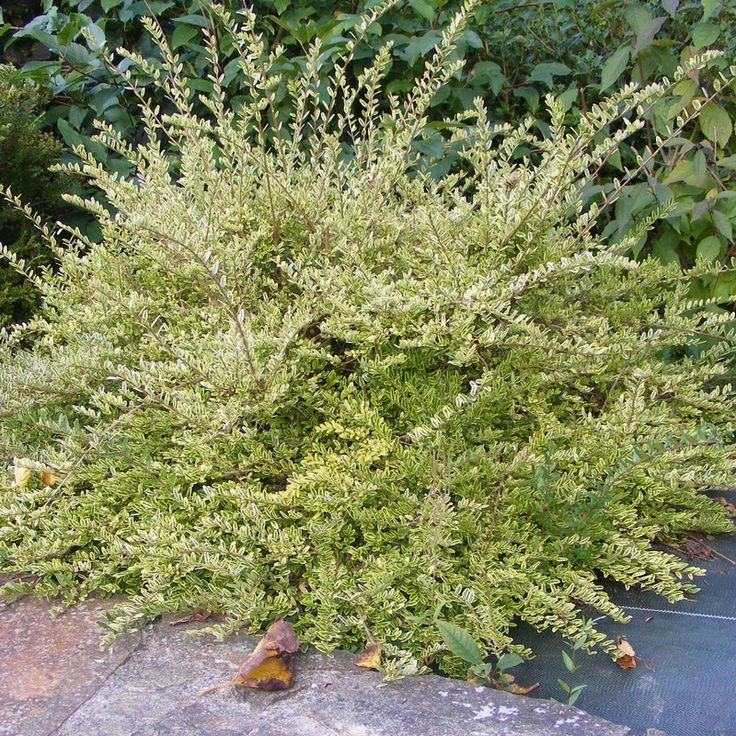 Lonicera N. Lemon Beauty | Lonicera pileata 'Lemon Beauty' - Chèvrefeuille arbustif panaché ...