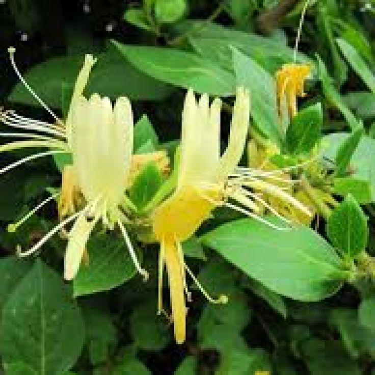17 meilleures id es propos de arbuste en pot sur pinterest arbuste japonais plantes. Black Bedroom Furniture Sets. Home Design Ideas