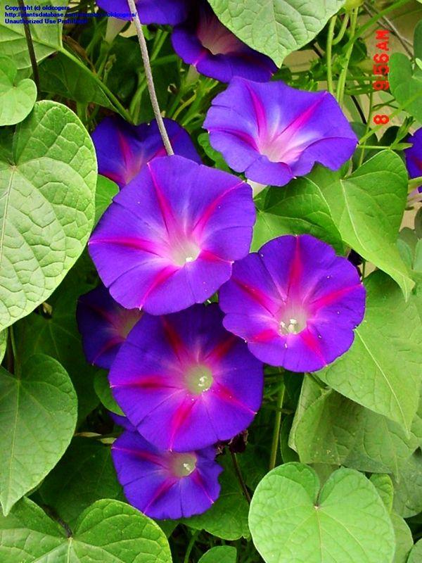 1000 images about ipomea purpurea on pinterest for Ipomea purpurea