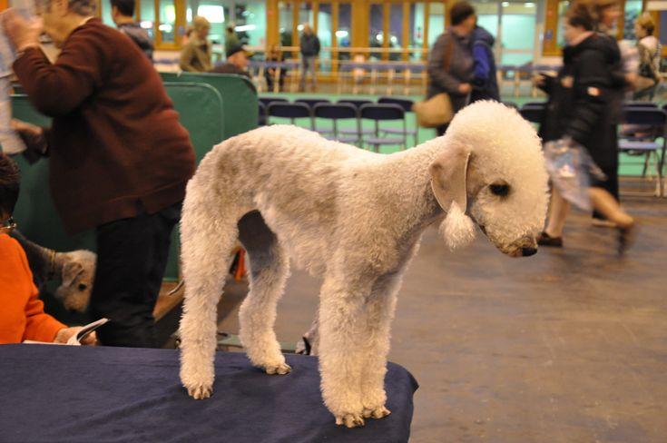 The Bedlington Terrier: A Playful Companion