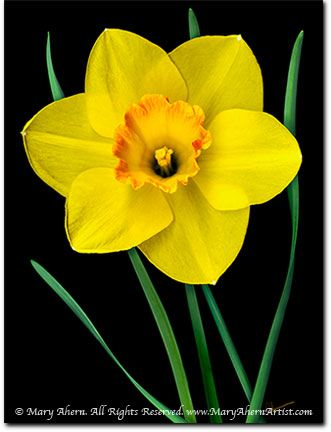 Daffodil: Yellow Flowers, Tattoo Ideas, Digital Paintings, Garden Artist, Flower Paintings, Yellow Daffodils, Media Painting, Delicate Flowers