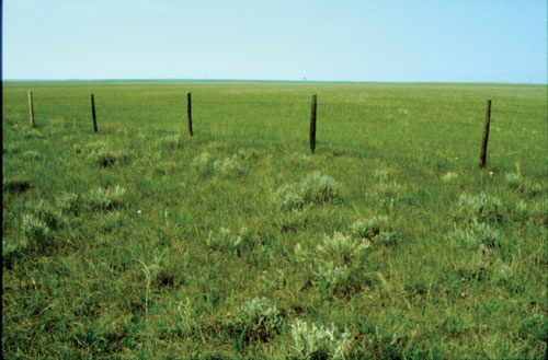 Wheatgrass-Junegrass grassland east of Kyle, SK, from The Encyclopedia of Saskatchewan