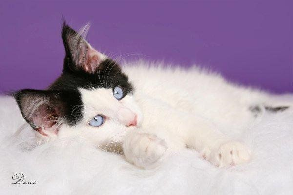 #MaineCoon #Blue #Eyed Time of my Life Feline Fantasy  Photo by #Dani #DaniRozeboom