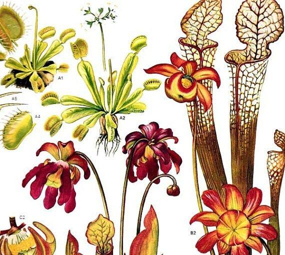 17 best botanical illustrations 333 images on pinterest venus fly trap ccuart Choice Image