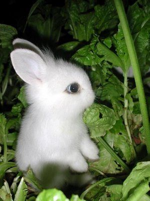 Dwarf Hotot Rabbits for Sale