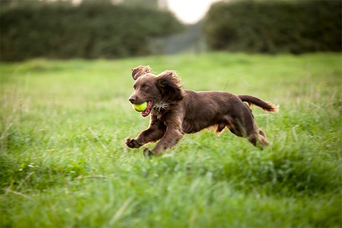 Boykin Spaniel Puppy