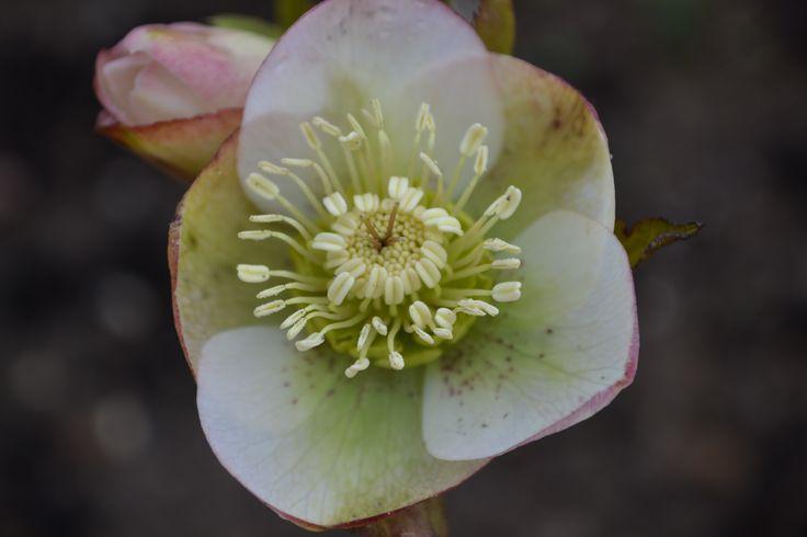 Helleborus orientalis - købt hos gartneriet spiren