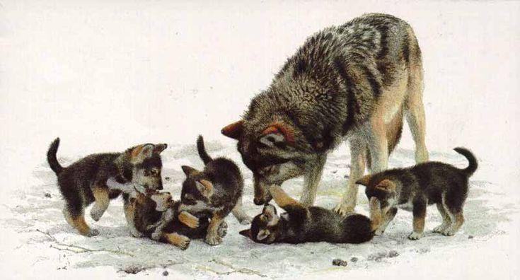 Image  12 :  loup  :  maman et louveteaux