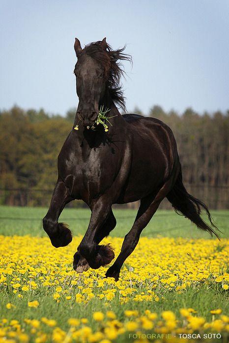 majestic black Friesian horse
