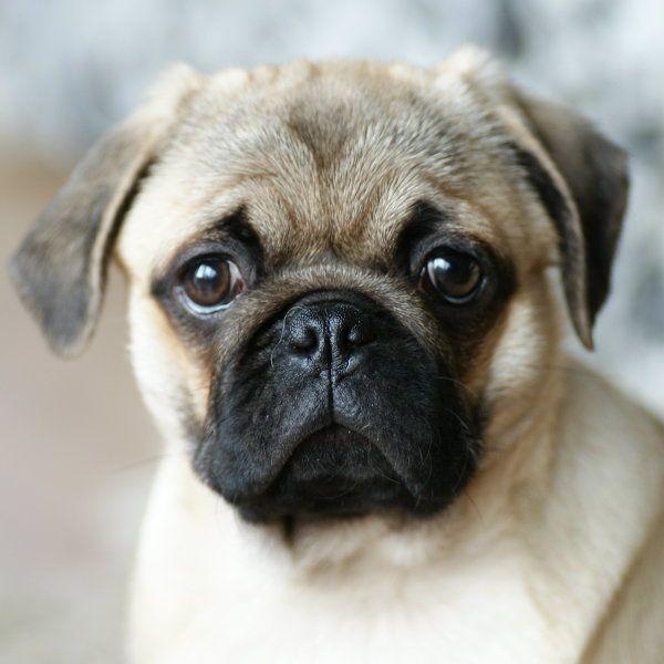 Мопс - описание породы с фото, питание и уход, цены и выбор щенка, содержание и дрессировка мопсов