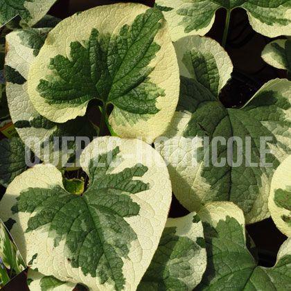image de Brunnera macrophylla Dawson's White