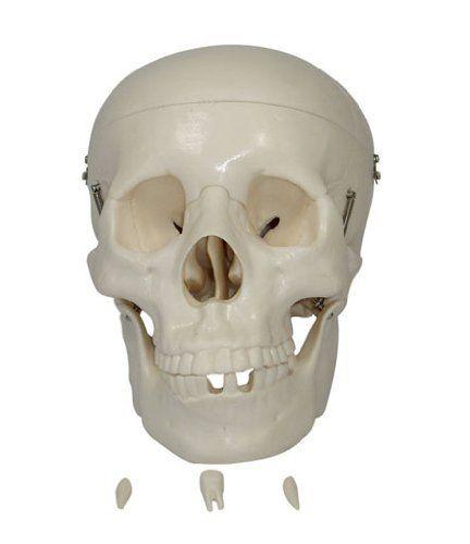 Human Skull Model, Life-size by Anatomy-Online, http://www.amazon.co.uk/dp/B005WH4KC0/ref=cm_sw_r_pi_dp_gr4Csb1B690W6