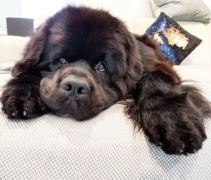 "2,127 Likes, 25 Comments - Hugo, a Newfoundland Dog (@hugo_the_newfie) on Instagram: ""Couch potato for #fluffyhugofriday . . . #chillin #floofmaster #floof #cutie #adorable #lovehim…"""