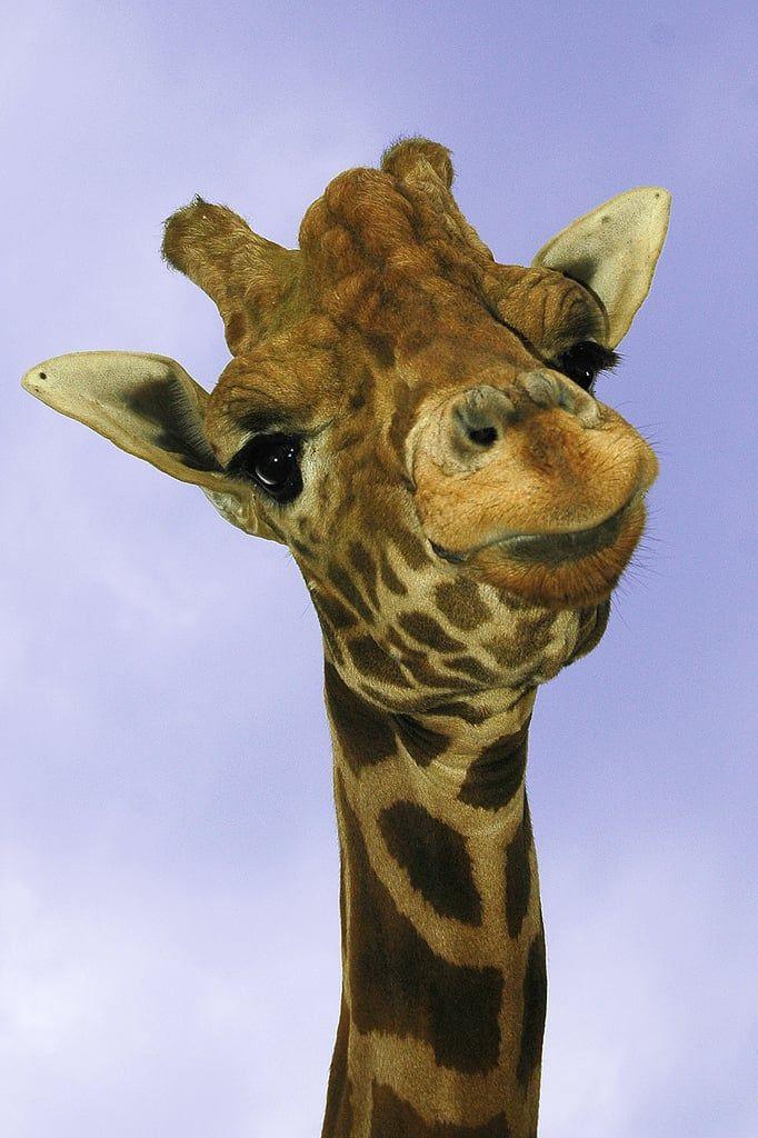 Жираф картинка прикольная