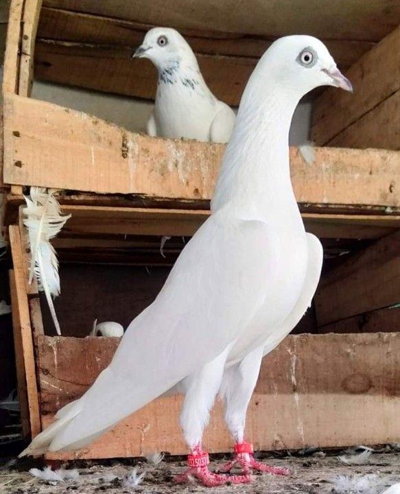 Ce Que Detestent Les Pigeons : detestent, pigeons, Alberto, Elías, Piegon, Animals,, Pigeon,, Birds