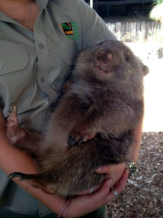 This wombat looks content