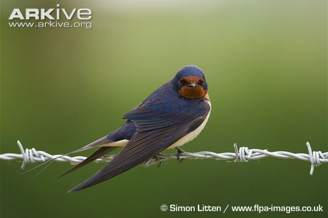 Barn swallow sits on barbed wire