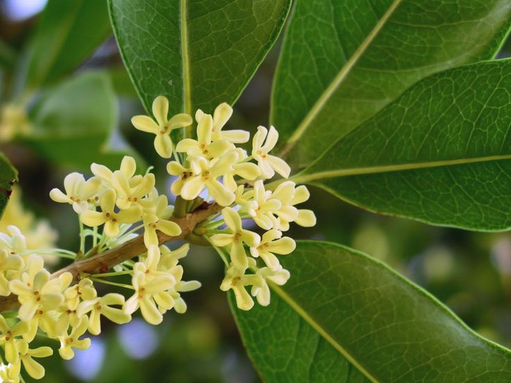 """Perfumery Material: Osmanthus aka Tea Olive - """"Highly fragrant and succulent in its peachy-apricoty top note it is nothing short of mouthwatering....""""  More at The Perfume Shrine"""