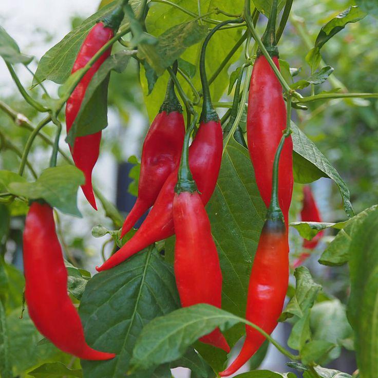 Aji Rojo chilli-seedz.com