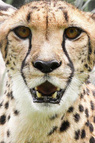Cheetah Face <3