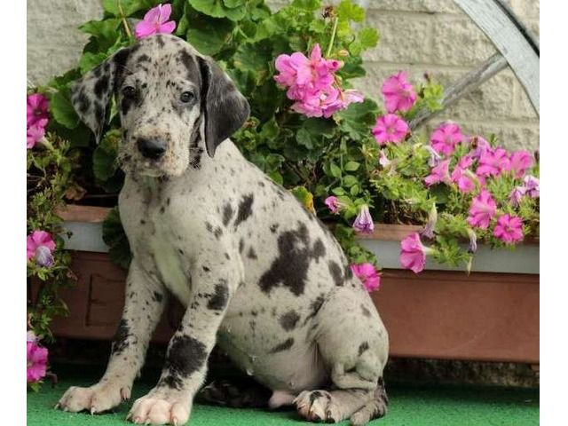 Great Dane Puppies Are Looking For A New Family Dane Puppies