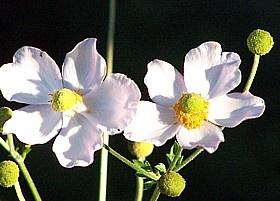 Anemone hupehensis, Herbstanemone