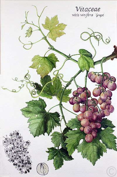 Grapes - watercolour by Ruth de Monchaux