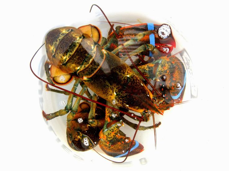 The Best Placed To Buy Lobster Online . Live Maine Lobster
