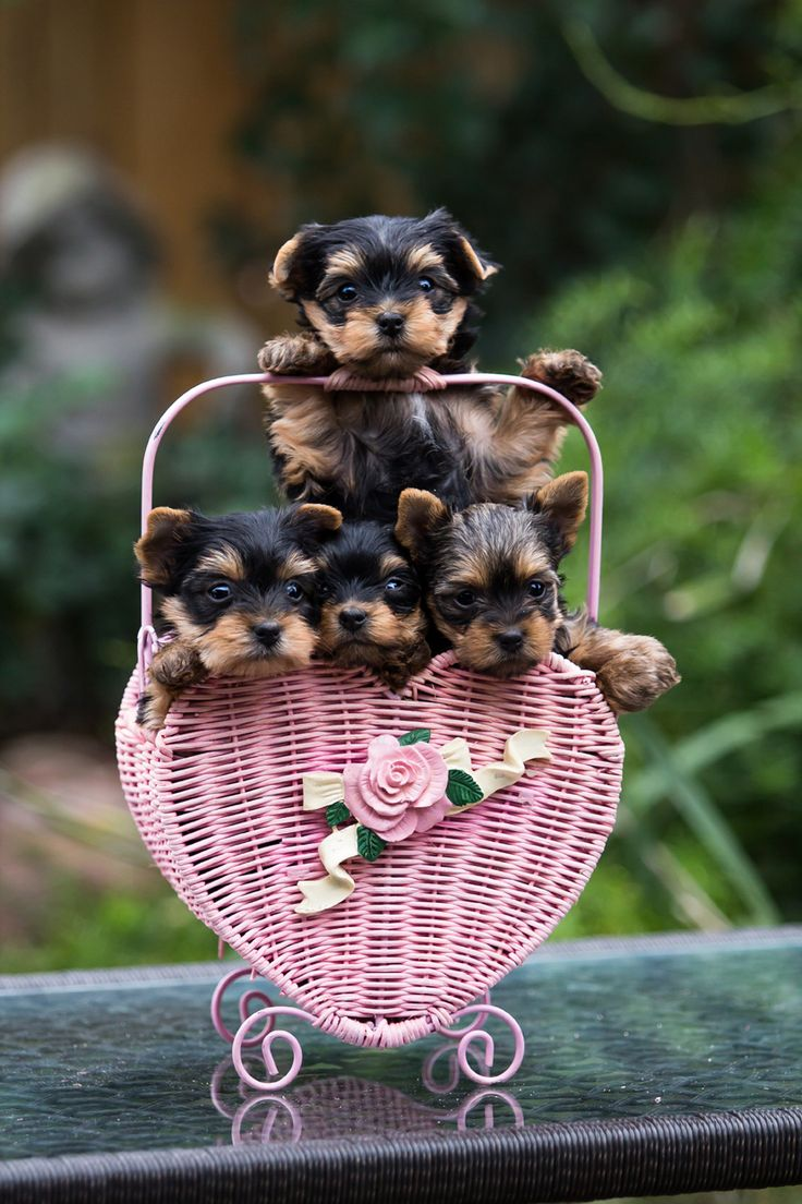 Yorkie babies...so sweet and tiny :)