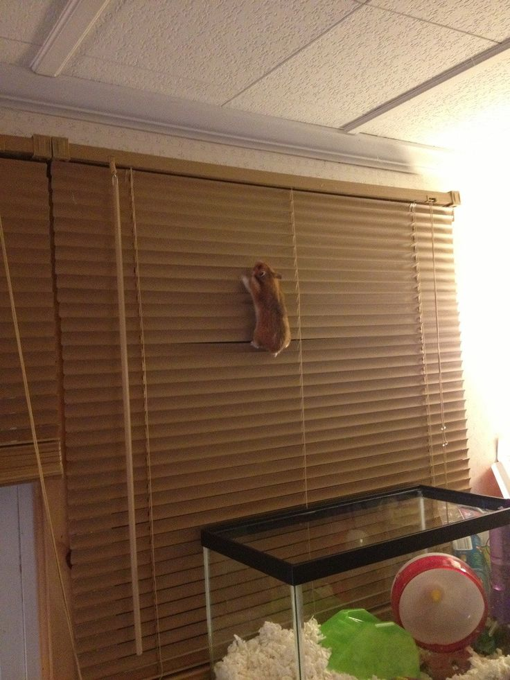 """One more reason not to have hamsters ..... (corrected from """"guinea pigs"""")"""