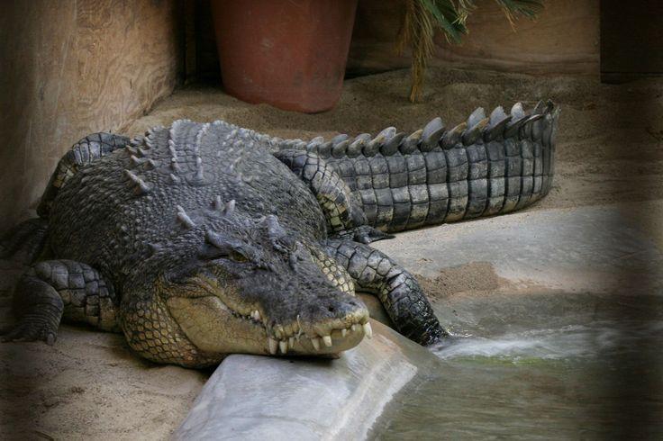 Large crocodile in park - Saltwater crocodile - Wikipedia