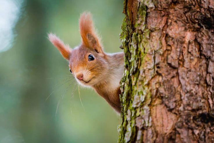 Sincap :En tembel 11 hayvan listemizin son üyesi telaşlarıyla ünlü sincaplar. Uyanık oldukları zamanlarda o kadar hızlılardır ki bir o ağaçtan bir bu ağaca zıplamalarını çıplak gözle takip etmeniz bir hayli zor olabilir. Sincaplar uyumayı çok severler ve yerden özene bezene topladıkları çeşitli malzemelerle yaptıkları yuvalarında günde en az 14 saat uyurlar.