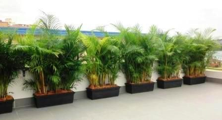RENT-A-GARDEN: Golden Cane palm screening hedges