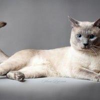 Razze Felini: il gatto Thai. Caratteristiche e Carattere