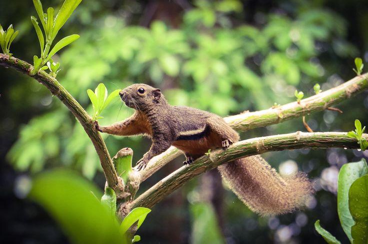 Singaporean Squirrel