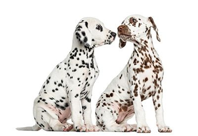 two cute Dalmatian puppies sniffing each other ...