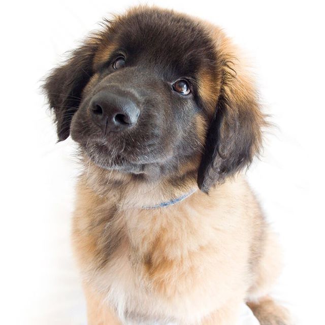 How cute is he?!? The Leonberger is vigilant, obedient and quietly confident in all situations. #puppy