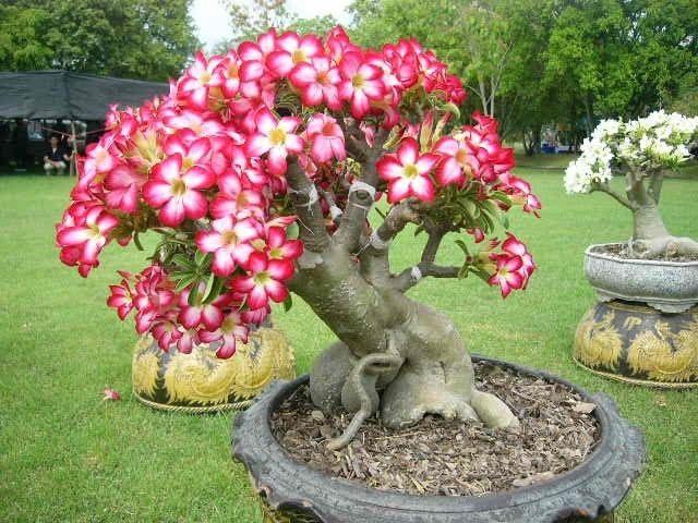 """Adenium (Latin Adenium) - genus of shrubs or woody succulents kutrovyh family (Apocynaceae). natural habitat adeniuma - Oman, Yemen, Saudi Arabia, as well as Central and South Africa. In many languages a literal translation of the name of the plant means """"desert rose"""". There is also the name - """"impalskaya lily or a rose,"""" """"Star Sabini""""....... Wonder if mine will bloom like this???"""