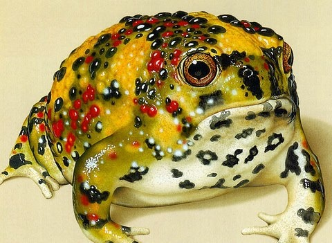 The Holy Cross Frog, (Notaden bennettii), found in tropical, sub-tropical and temperate eastern Australia. This primitive toad is one of the few Australian frogs to display warning coloration, (aposmatism).