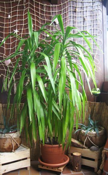 userin kay64 hat sich mit einer yucca palme sukkulenten. Black Bedroom Furniture Sets. Home Design Ideas