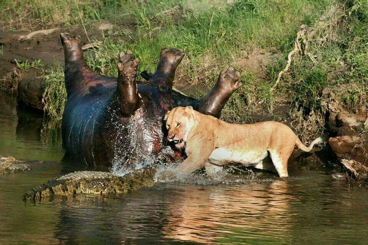 Lion vs Crocodile. Winner gets Hippo   animals   Pinterest
