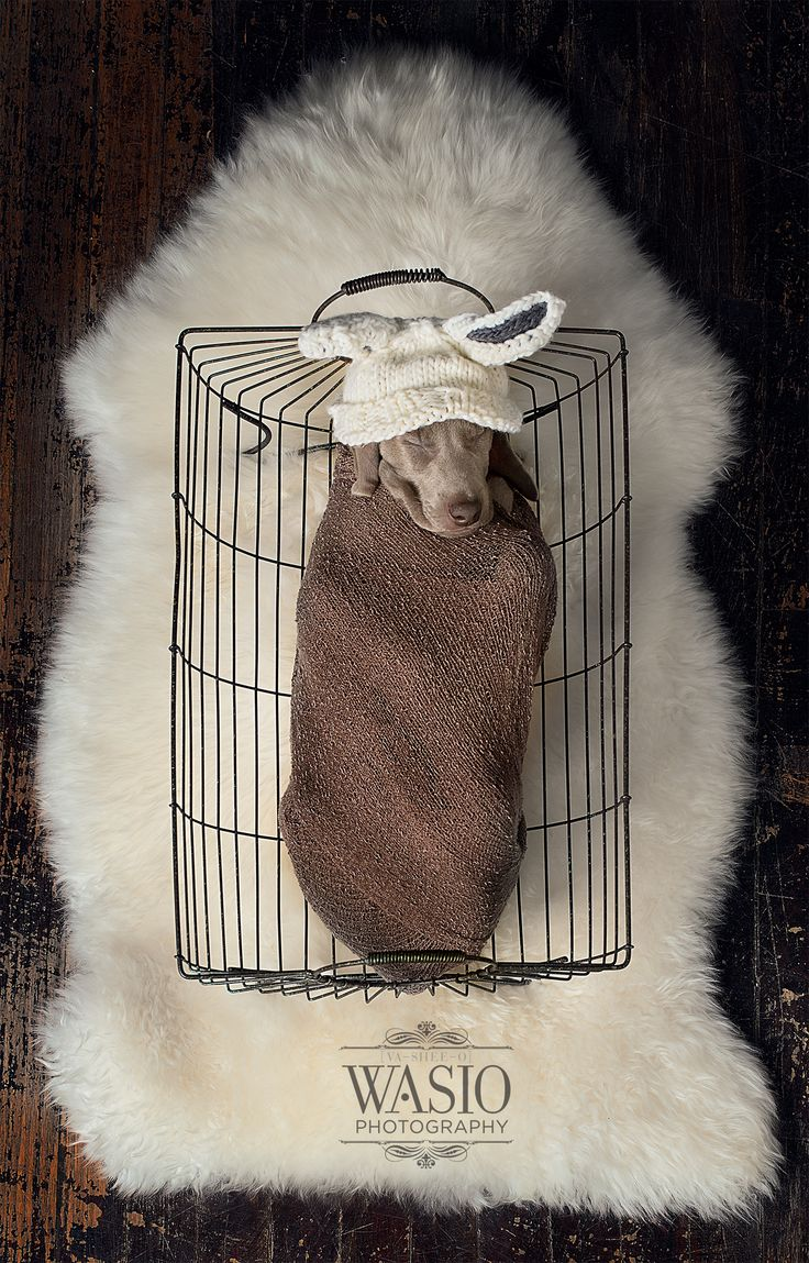 5 week old KenLee Weimaraner puppy dressed as a new born bunny http://www.wasiophotography.com