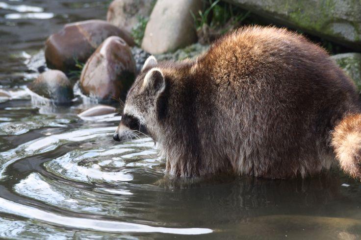 Wasbeer zoekt naar eten