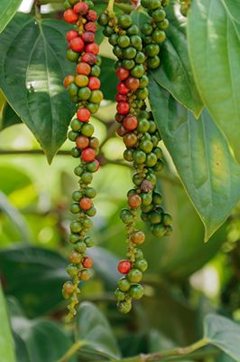 How to grow black pepper, the world's most popular spice. While only suitable to the hottest parts of North America, it can be a fun, exotic plant to grow.