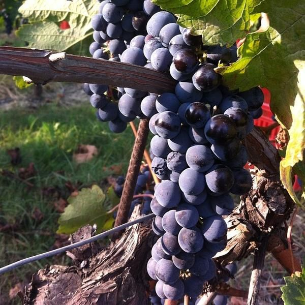 The Barbera Grapes are ready to harvest