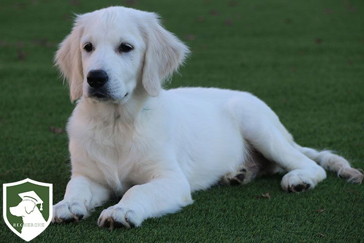 English Cream Golden Retriever Info Golden Retriever Retriever American Golden Retriever