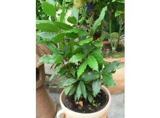 Rostlina | Vavřín, Bobkový list, Laurus nobilis