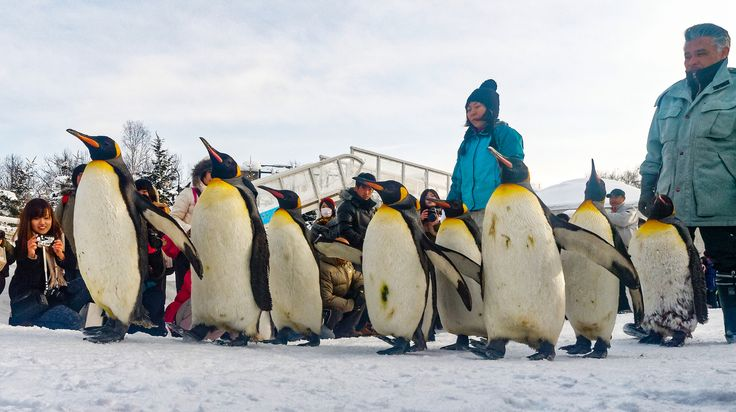 https://flic.kr/p/NW46G3 | marching penguins | at Asahiyama Zoo in winter season, penguins are marching in the zoo