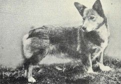 Rose, the 1st KC-registered Pembroke Welsh Corgi. Classed as PWC foundation stock.
